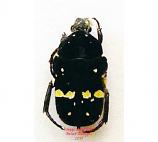 Cetonidae sp. 6 (Philippines)