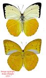 Catopsilia scylla cornelia (Philippines)