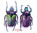 Neptunides polychrous - blue/green (Tanzania)