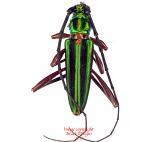 Mionochroma ocreatum (Peru) A2