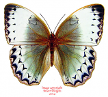 Stichophthalma cambodia (Thailand) A-
