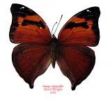 Doleschallia bisaltide (Philippines)