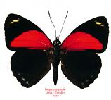 Callicore eucale (Peru) A-