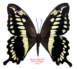 Papilio constantinus (Tanzania) A-