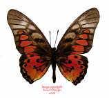 Graphium rydleyanus (RCA) A-