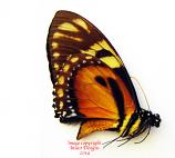 Papilio ascolius (Ecuador)