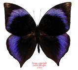 Zeuxidia doubledayi (Malaysia) A-