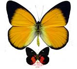 Delias aruna (Bachan) A2