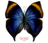 Kallima cymodoce (RCA)