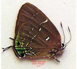 Janthecla sista (Peru)