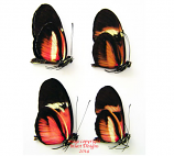 Heliconius hybrids (Costa Rica) - price is for 1 specimen