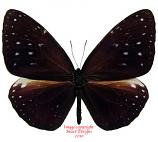 Euploea phaenareta hollandi (Buru) A1-
