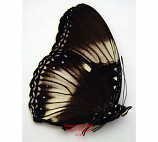 Hypolimnas diomea (Sulawesi)