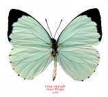 Pieris talassina (RCA)