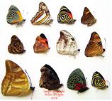 Butterfly mix (Ecuador) - 10 A1 specimens