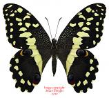 Papilio demodocus (Madagascar)