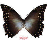Morpho hercules amphitrion (Peru)