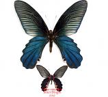 Papilio alcmenor (Thailand) A2