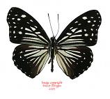 Hestina dissimilis dissimilis (Philippines)