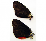 Idea leuconoe gordita black aberrant (Philippines)