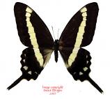 Graphium illyris (RCA)