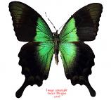 Papilio peranthus (Java)