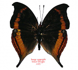Junonia eurodoce (Madagascar) A2