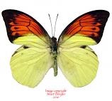 Hebomoia leucippe leucogynia (Buru)