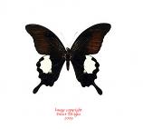 Papilio iswara (Malaysia)