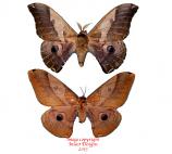Dictyoploca japonica (Korea) A2