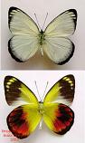 Delias caeneus (Ambon or Ceram) A1 or A2