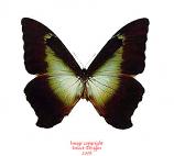 Morpho cisseis phanodemus phandema (Peru) A1-