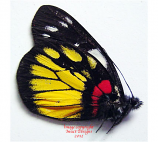Delias henningia surigaonis (Philippines) A- or A2