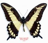 Papilio ornythion (Peru) A1-