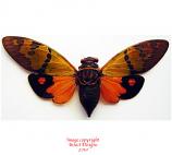 Gaeana festiva - orange (Malaysia) A-