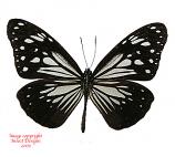 Parantica luzonensis luzonensis (Philippines)