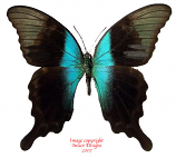 Papilio peranthus adamantius (Sulawesi)