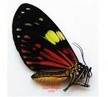 Pericopinae sp.2 (Peru) A-