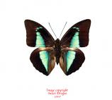 Prepona lycomedes (Peru)