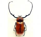 Euchirus longimanus (Ceram)
