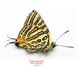 Spindasis syama negrita (Philippines)