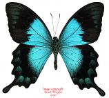 Papilio lorquinianus gelia (Bachan) A-