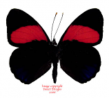 Callicore cajetani (Peru)
