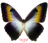 Morpho cisseis phandodemus blue/yellow  A-