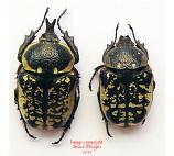 Hypselogenia corrosa (Tanzania)
