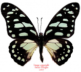 Graphium leonidas (Tanzania) A2