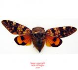 Platypleura mira (Thailand) A-