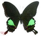 Achillides karna karna (Java)
