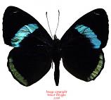Diaethria lidwina (Peru)
