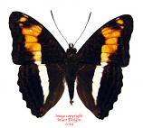Adelpha phylaca pseudaethalia (Ecuador)